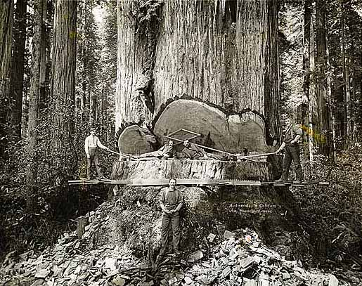Portrait of Redwood Loggers